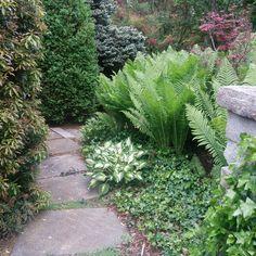 This bluestone path is bordered by Dorothy Wycoff pieris, Ostrich ferns, and a variety of hostas. Ostrich Fern, Stone Work, Shade Garden, Ferns, Paths, Sidewalk, Backyard, Landscape, Green