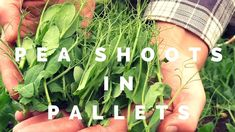 It's so easy to grow pea shoots/pea sprouts in the garden. Simply use organic whole dried yellow peas from the s.