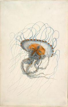 Jellyfish, Charles Alexandre Lesueur, c. 1800