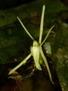 Epidendrum sp. - Flickr - Photo Sharing!