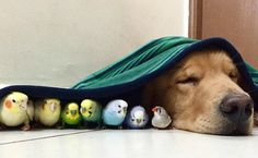 Incredibly Chill Golden Retriever Is The Mayor Of Birdville