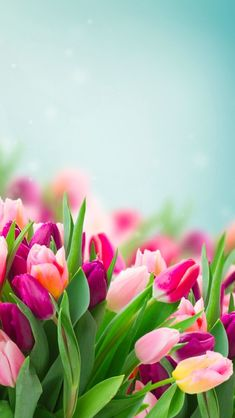 9 Top Spring Flowers Wallpaper For Your Android or Iphone Wallpapers Tulips Flowers, Flowers Nature, Planting Flowers, Beautiful Flowers, Tulips Garden, Pink Tulips, Roses, Beautiful Things, Spring Flowers Wallpaper