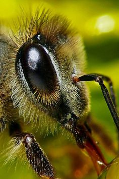 "Super close up photo. ""Honey Bee"" by Pieter Kotzee. Type ""Amazing"" in the comments below if you love bees! #bees  #honeybee  #bringbackthebees"