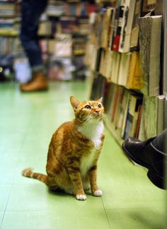 bigcatface:    bookstore cat by HF008 on Flickr.