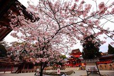 石清水八幡宮 桜 男山と華やかな桜