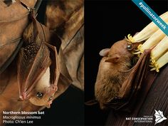 Bats, like the Northern Blossom Bat Macroglossus minimus from Australia, pollinate the flowers of plants that have evolved to produce nectar to attract them.