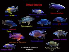 Malawi Beauties. Absolutely love African Cichlids.
