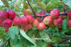 Wickson Crab -- Eastman Antique Apples.  I want to add some to our orchard.