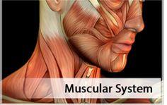 Muscular System - Anatomy Flashcards