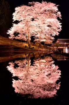 苗代桜 Cherry Blossom, Gifu, Japan