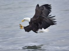 Bald Eagle -although they aren't in my yard, they are at the river, close by.