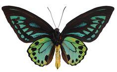 Ornithoptera priamus urvillianus - Underside  Priam's Blue Birdwing Butterfly  $229