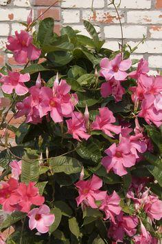 Mandevillacountryliving Climbing Flowering Vines, Climbing Flowers, Flowering Trees, Tropical Plants, Tropical Flowers, Mandavilla Vine, Exotic Flowers, Beautiful Flowers, Fast Growing Vines