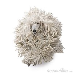 Front view of White Corded standard Poodle running