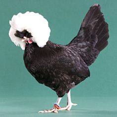 we have one of these at the farm.... totally cracks me up.... white crested polish hen
