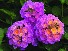 Lantana 'Landscape Bandana Pink' from Syngenta Flowers/GoldFisch Vegetative The new Landscape Bandana lantana series from Syngenta Flowers, Inc. is ideal for landscapes and large mixed container due to its robust growth. It expands the Heat Lovers collection, making it a great choice to help revitalize retail centers during hot summer months. Landscape Bandana is available in four colors: Pink, Red, Yellow and Gold Improved.