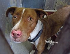A4848875 my name is Mijo. I am a friendly 4 yr old neutered male brown/white pit bull mix. I came to the shelter as a stray on June 27. available 7/1/15 I share these photos to help get these dogs seen and hopefully find homes. please contact the shelter directly to find out its availability. NOTE: Pit bulls are not kept as long as others so those dogs are always urgent!! Baldwin Park shelter Open for Adoptions 7 days a Week 4275 Elton Street, Baldwin Park, California 91706 Phone 626 430…