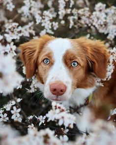 Funny Dog Videos, Funny Dogs, Dog Photos, Dog Pictures, Cute Puppies, Cute Dogs, Nature Dog, Nova Scotia Duck Tolling Retriever, Cute Funny Animals