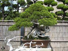 Por último, pero no menos importante, el Bonsai sensei Masahiko Kimura. Su variada colección de bonsái es de fama mundial. Kimura comenzó a los 15 años como aprendiz del maestro Hamano en Omiya, el pueblo del Bonsái.
