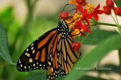 B L O G 'o' G R A P H Y . B Y. R A J E N D R A: Lewis Ginter Botanical Garden- Butterflies LIVE and More...........