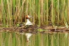 Norfolk Wildlife Trust - Gallery. Great crested grebe at NWT Ranworth Broad on 20/05/2012. Contributed by: Elizabeth Dack.