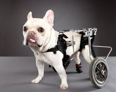 Little Man Rue is paralyzed from the waist down due to a spinal disorder. He is a very active and happy dog nonetheless. Little Man lives with his owner and another French bulldog, Sweet Pea.