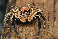 Jumping Spider (Salticidae) | Flickr