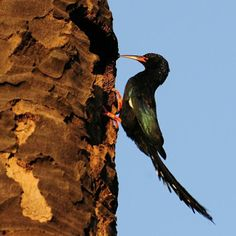 The Green Wood Hoopoe (Phoeniculus purpureus) is a large, up to 44 cm long, near-passerine tropical bird native to Africa. It is a member of the family Phoeniculidae, the wood hoopoes, and was formerly known as the Red-billed Wood Hoopoe. The Green Wood Hoopoe is a common resident breeder in the forests, woodlands and suburban gardens of most of sub-Saharan Africa.