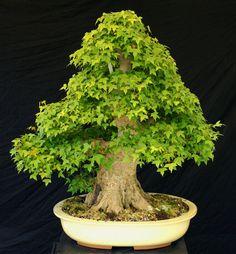 Bonsai Tree Specimen Imported from Japan Trident Maple TMSTQ318-509C #bonsaitree