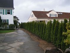 Narrow shrubs like the Emerald Arborvitae or Korean Boxwood can be planted 24 inches apart. http://www.arborday.org/trees/privacyhedge/#panel-1