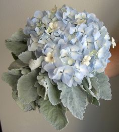dusty miller with blue hydrangea for bridesmaid bouquets and arrangements