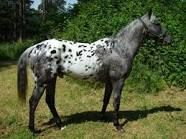 appaloosa - I went to a Civil War reenactment in Keokuk, IA and one of the generals (I think it was the Union, but I can't remember) rode the most beautiful black appy, with a PERFECTLY spotted rump blanket. It was a gorgeous horse! - this pic isn't it, but it's pretty too!