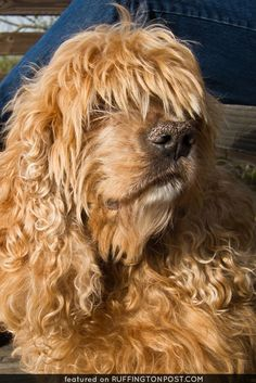This Spaniel Buffy Needs a Trim - http://www.ruffingtonpost.com/spaniel-buffy-needs-trim/