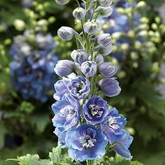 The First Ever Dwarf Delphinium From Seed Double Blooms Of Powder Blue With
