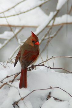 Northern Cardinal. I want this to be my friend in my garden!