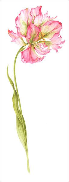Botanical Illustration by Jan Harbon