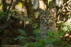 """Im Katzenfieber - Wer Felipe, Merlin und Silvester, die drei Wildkatzen-Young""""stars"""" aus dem Thayatal - noch im Trio erleben möchte, sollte sich beeilen. Denn ab kommenden Freitag wird aus dem Trio bereits ein Duo. Warum das so ist bzw. sein muss, das weiß der neueste NP Thayatal Blogbeitrag zu berichten. Außerdem hat er spannende Neuigkeiten aus der heimischen Wildkatzenforschung in petto. Eine Fotofalle hat """"zugeschnappt""""! http://blog.np-thayatal.at/im-katzenfieber/"""