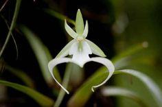 """La Orquídea fantasma (Dendrophylax lindenii) es una excepcional flor que carece de tallo y hojas, y crece en la zona de las Bahamas, Cuba y Florida. Debido a que las raíces de esta planta crecen y se funden con los árboles, la flor parece a menudo flotar en medio del aire. Esta característica le ha dado el nombre popular de """"orquídea fantasma""""."""