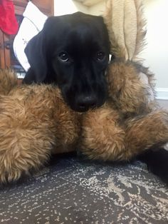 Black Labs, Black Labrador, Labrador Dogs, Equine Photography, Animal Photography, Retriever Puppies, Labrador Retrievers, Corgi Puppies, Yellow Lab Puppies