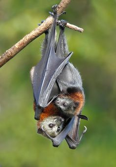 "--- /\_❢ₒ❢_/\--------PIPISTRELLI------------/\/\__//\/\--------------BATS---------------------""""""-----------by-ⓛⓤⓐⓝⓐ-------: "" Mom and baby by Ofer Levy "" """