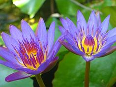 Water lilies, Hawaii. WIll see these in person one of these days.