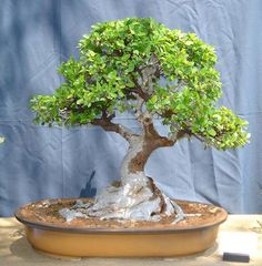 The Pretoria Bonsai Kai (from Pretoria South Africa) had an exhibition the past weekend. The exhibition was held outdoors at a Garden centre. There was a total