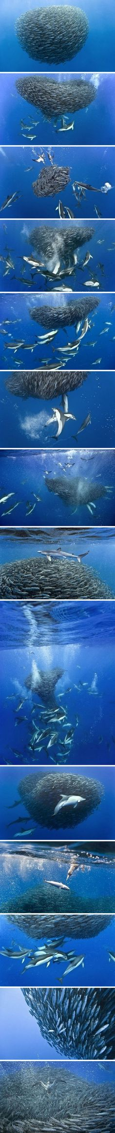 Smorgasboard: Dolphins circling a school of fish, trapping them in a mini whirlpool. Then? They charge at the school. | British photographer Christopher Soun