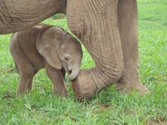Baby elephant, so little!