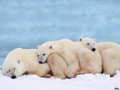 Polar bear snuggles.