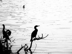 Three on a perch and one in the water . . .  #blackandwhitephoto #bnw_life #bnw_captures #bw_society #thecitybeautiful #Orlando #Florida  #instabird #beak #wing #birdsofinstagram #instagramanet #feathered #bird #wings #feathers #birdstagram #feather_perfection #birdlover #fly #birdwatching #feather #birds #instabirds #flight #birdcage #birdgang #featheredfriends #birdland