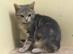 TO BE DESTROYED 2/6/14 ** BABY ALERT!!! Manhattan Center My name is SPRITE. My Animal ID # is A0990830. I am a female gray tabby domestic sh mix. The shelter thinks I am about 4 MONTHS old. I came in the shelter as a STRAY on 02/01/2014 from NY 10465, owner surrender reason stated was STRAY https://www.facebook.com/photo.php?fbid=743551132323388&set=a.576546742357162.1073741827.155925874419253&type=1&relevant_count=1