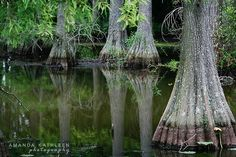 Bald Cypress Trees - love, love, love these trees.