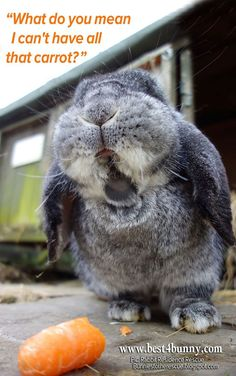 Did you know carrots are full of sugar and bad for bunnies. Feed them as a small treat only. Find out more here http://best4bunny.com/bunny-care/daily-munch/