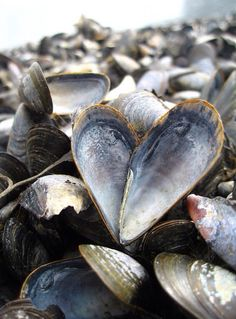 Mussel  Shells / They were enjoyed.